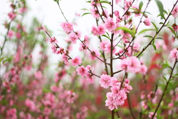 Cherry blossom - Tet flower in Hanoi1